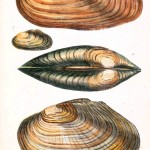 Animal - Curiosity - Conchology of Great Britain and Ireland   (7)