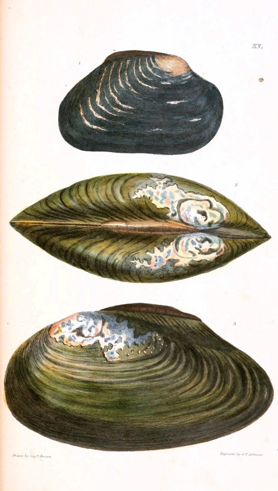 Animal - Curiosity - Conchology of Great Britain and Ireland   (8)
