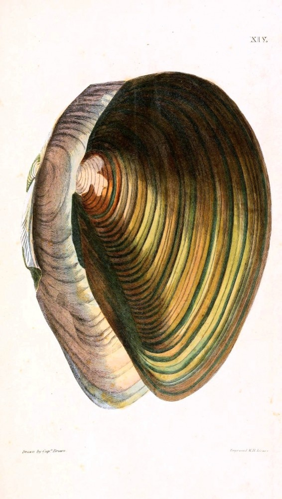 Animal - Curiosity - Conchology of Great Britain and Ireland   (9)