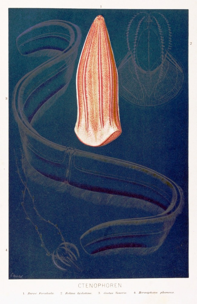 Animal - Curiosity - Ctenophore