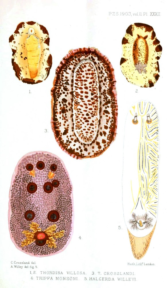 Animal - Curiosity - Nudibranches from Zanzibar and East Africa