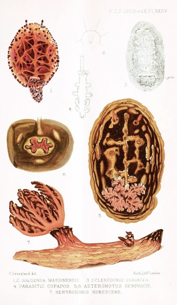 Animal - Curiosity - Nudibranches from Zanzibar and East Africa2