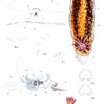 Animal - Curiosity - Nudibranches from Zanzibar and East Africa3