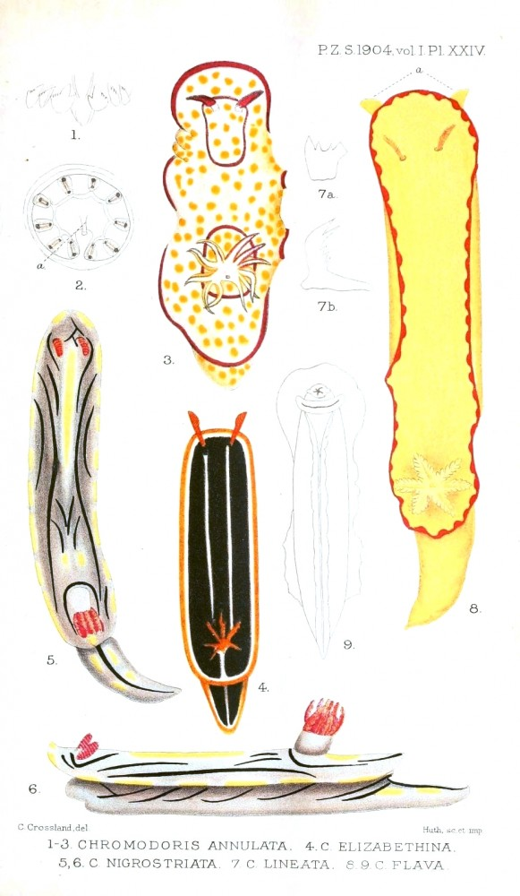 Animal - Curiosity - Nudibranches from Zanzibar and East Africa4