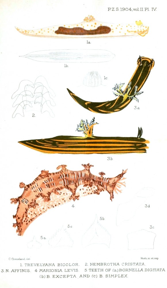 Animal - Curiosity - Nudibranches from Zanzibar and East Africa6
