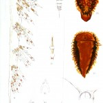 Animal - Curiosity - Nudibranches from Zanzibar and East Africa8