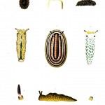 Animal - Curiosity -  Nudibranchia 1873 -  (3)