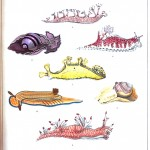 Animal - Curiosity - Nudibranchia, educational plate