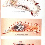 Animal - Curiosity - Nudibranchia -red spots