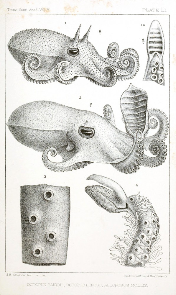 Animal - Curiosity - Octopus - Cephalopoda of Hawaii  (3)