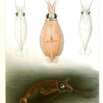Animal - Curiosity - Octopus - Die Cephalopoden (3)