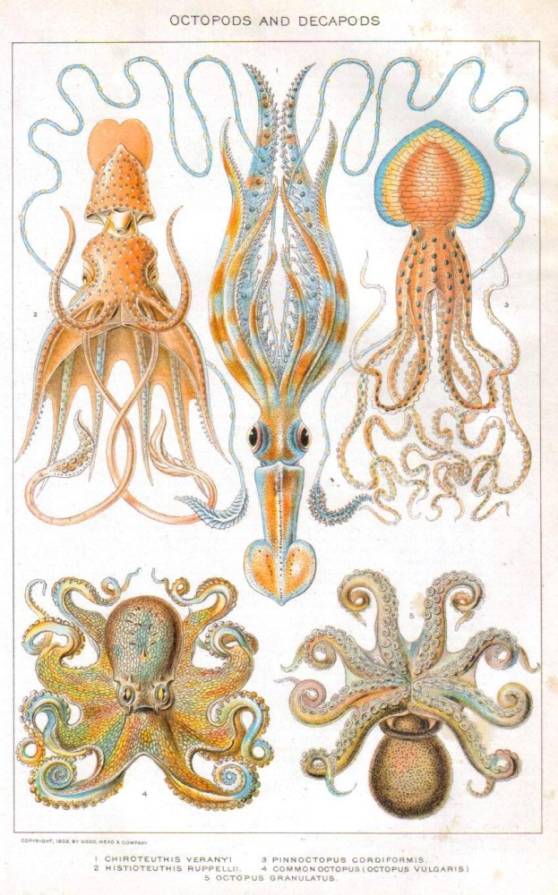 Animal - Curiosity - Octopus - educational plate (1902)