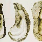 Animal - Curiosity - Oyster shells