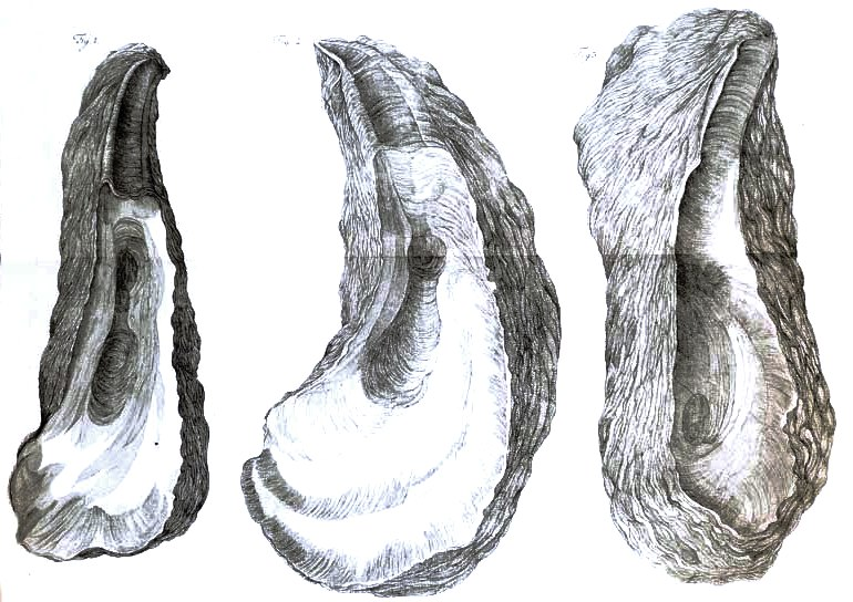Animal - Curiosity - Oyster shells (2)