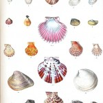 Animal - Curiosity - Sea Shell - (10)