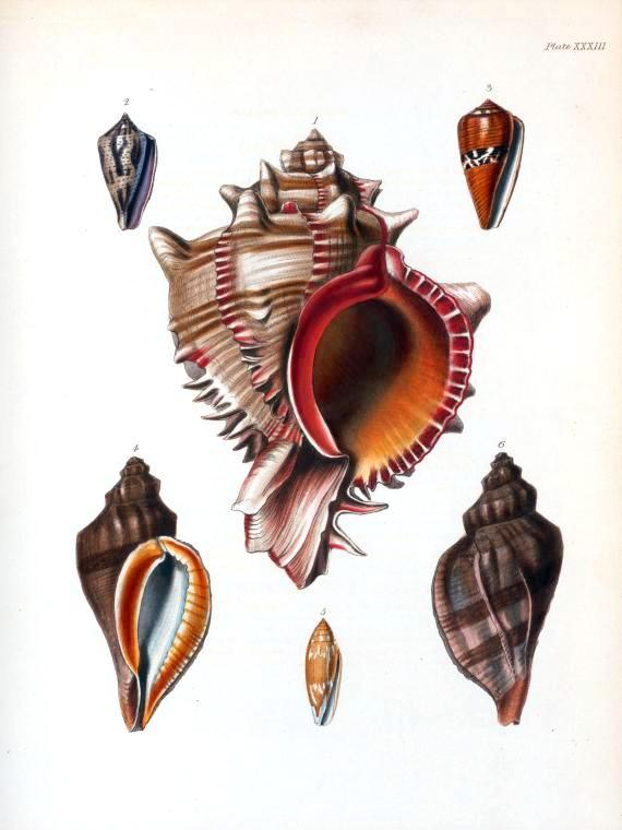 Animal - Curiosity - Sea Shell - (11)