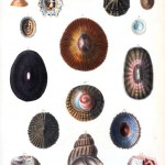 Animal - Curiosity - Sea Shell - (13)