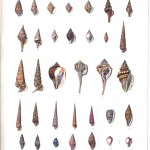 Animal - Curiosity - Sea Shell - (16)