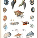 Animal - Curiosity - Sea Shell - (17)