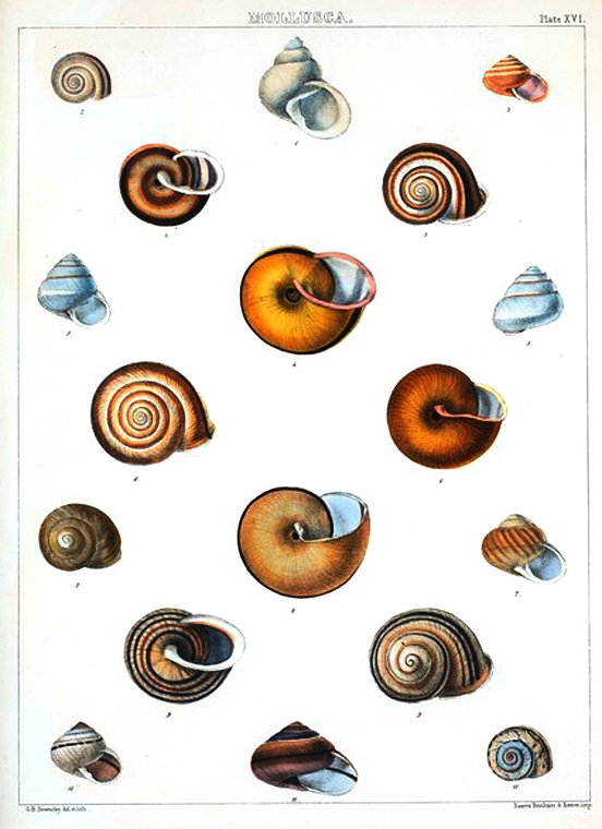 Animal - Curiosity - Sea Shell - (18)