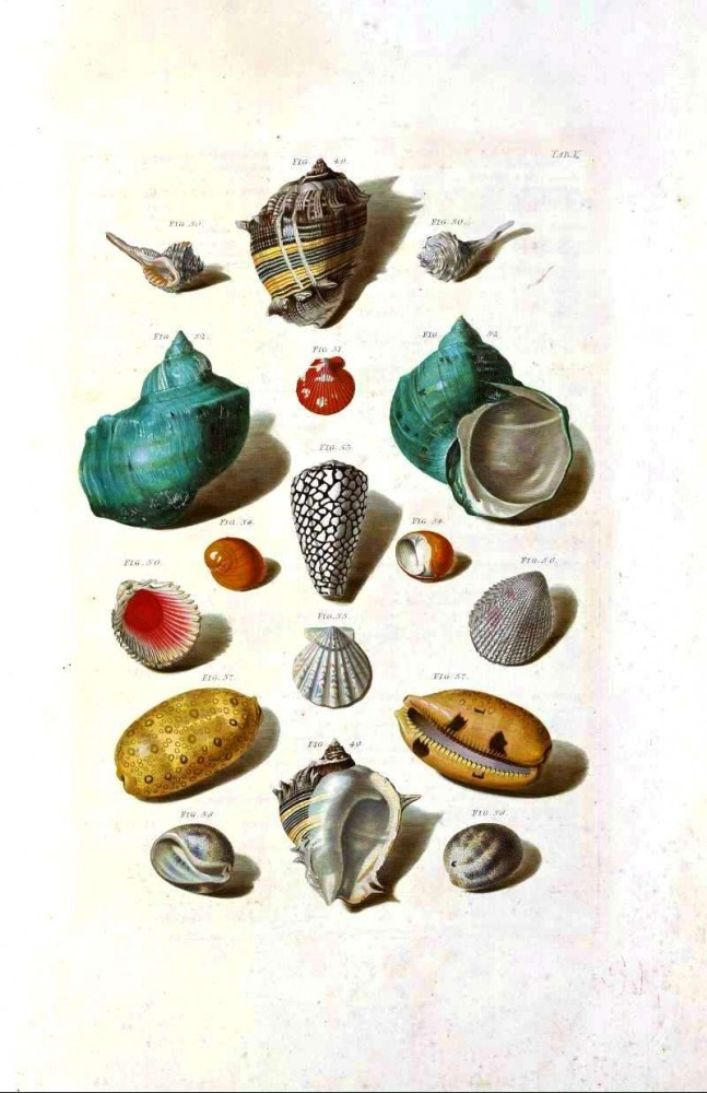 Animal - Curiosity - Sea Shell - (2)