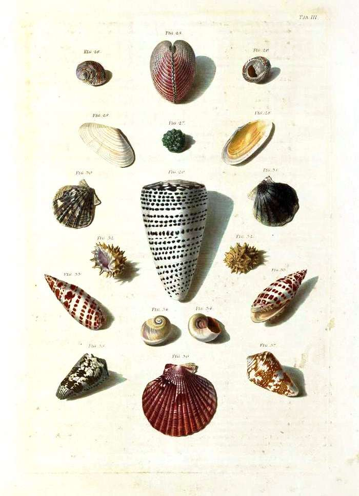 Animal - Curiosity - Sea Shell - (3)