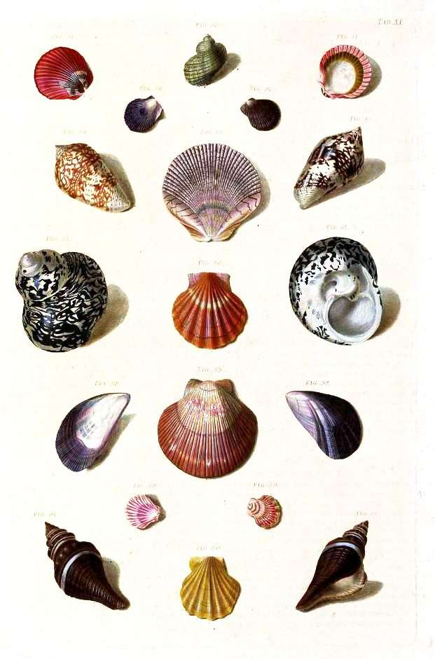Animal - Curiosity - Sea Shell - (4)