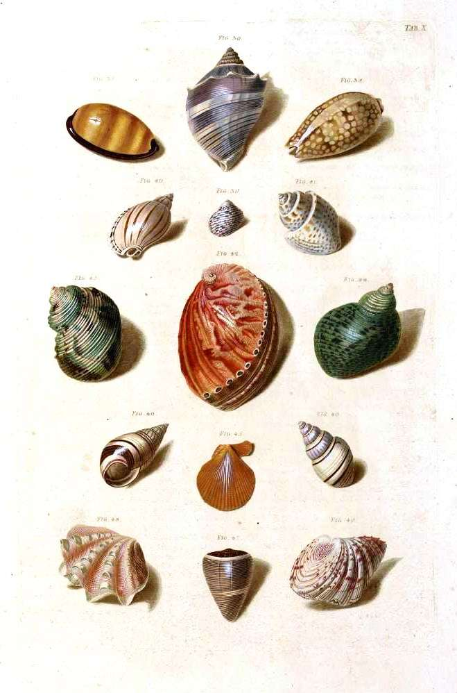 Animal - Curiosity - Sea Shell - (5)