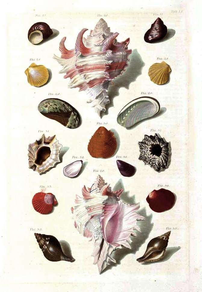 Animal - Curiosity - Sea Shell - (6)