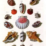 Animal - Curiosity - Sea Shell - (8)