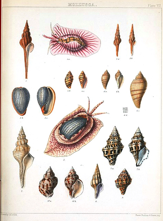 Animal - Curiosity - Sea Shell - (9)