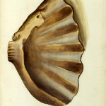 Animal - Curiosity - Sea Shell - Italian (2)