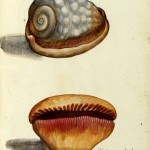 Animal - Curiosity - Sea Shell - Italian (3)