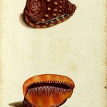 Animal - Curiosity - Sea Shell - Italian (4)