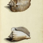 Animal - Curiosity - Sea Shell - Italian (6)