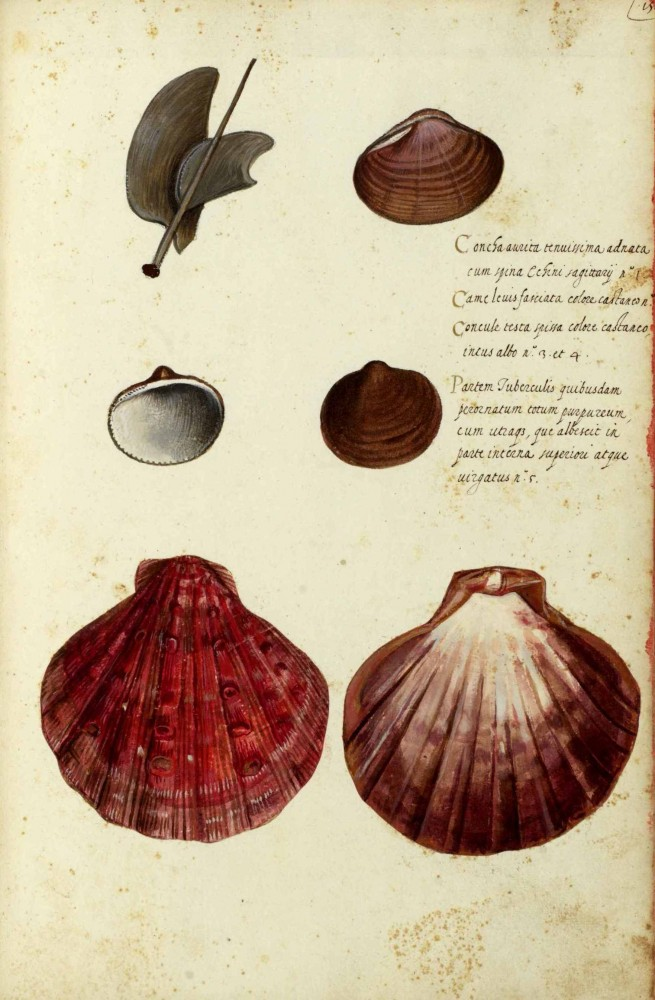 Animal - Curiosity - Sea Shell - Italian (8)