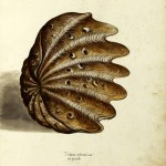 Animal - Curiosity - Sea Shell - Italian3