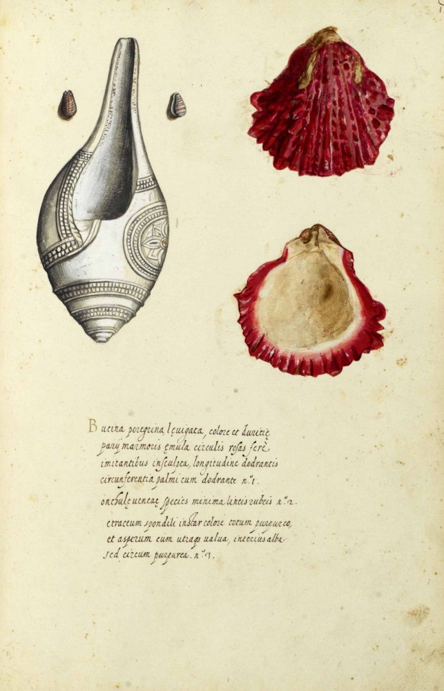 Animal - Curiosity - Sea Shell - Italian8