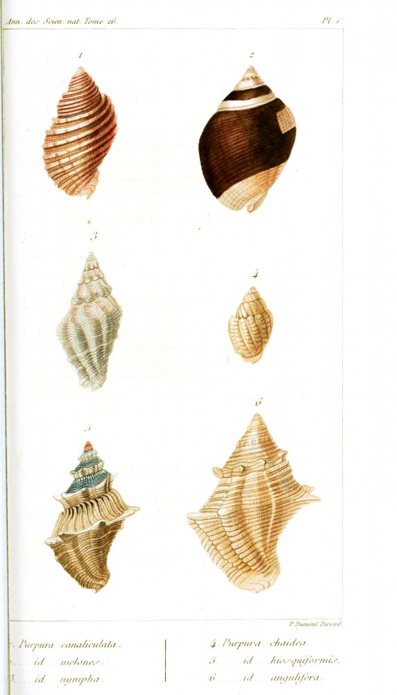 Animal - Curiosity - Sea shell - Educational plate - 1832 (2)