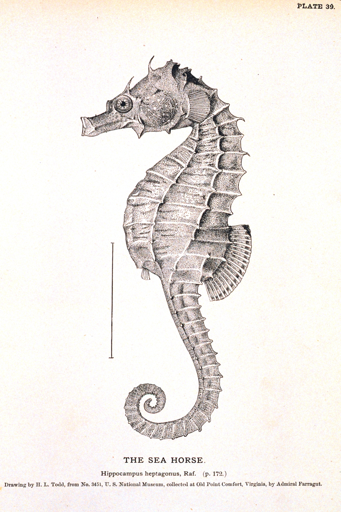 animal curiosity seahorse vintage printable at swivelchair media beta. Black Bedroom Furniture Sets. Home Design Ideas