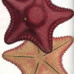 Animal - Curiosity - Starfish