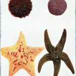 Animal - Curiosity - Starfish; sea urchin; sand dollar (1904)