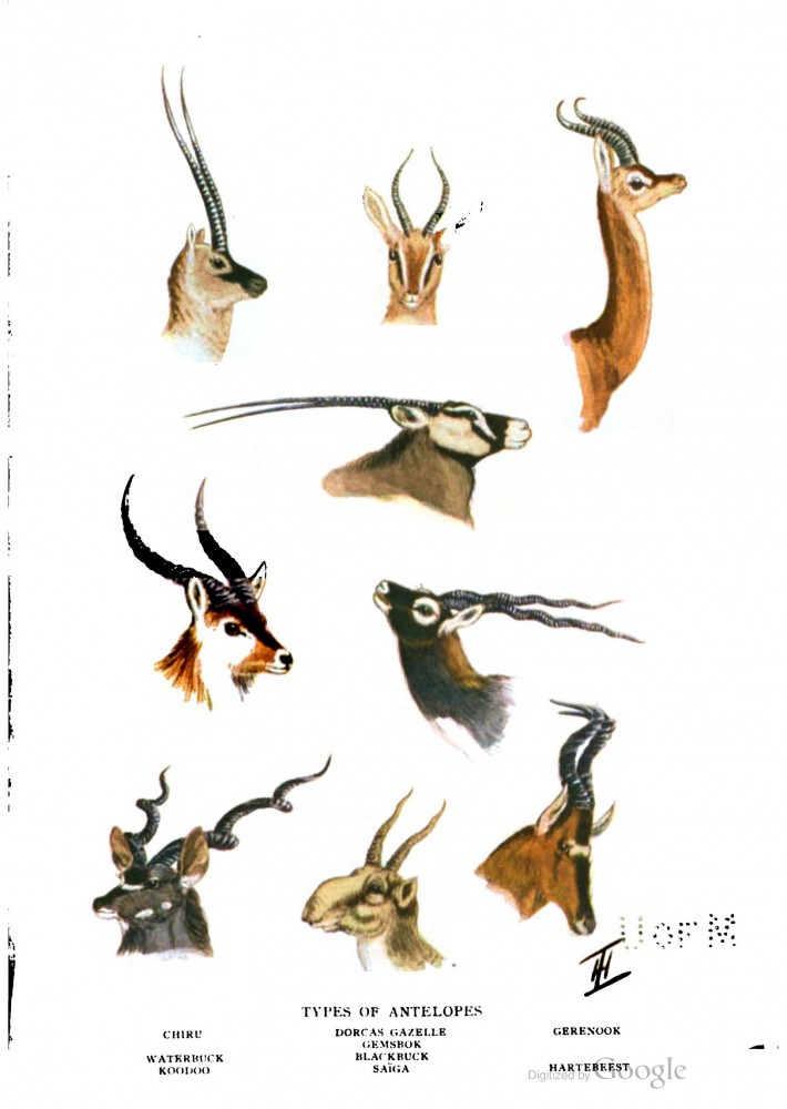 Animal - Deer - Animal head - Antelopes