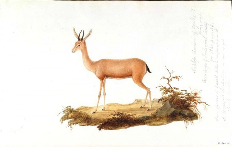 10: Antilope Cuvieri of Ogilby? young male Proceedings of Zoological Society for 1840 page 35. Some species of Gazell hitherto confounded with A. dorcas, and A. arabica, are not as yet clearly defined.