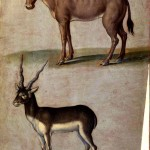 Animal - Deer - Antelope - Cow and Antelope - Italian