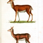 Animal - Deer - Buffon
