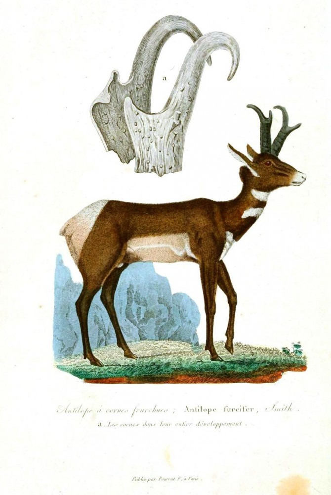 Animal - Deer - Buffon - Deer