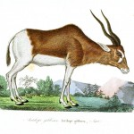 Animal - Deer - Buffon - Range and farm - Antelope (2)