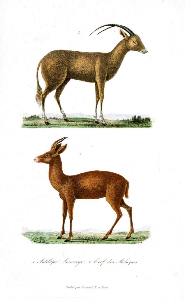 Animal - Deer - Buffon - Range and farm - Antelope