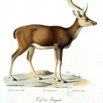Animal - Deer - Cerf du Bengale